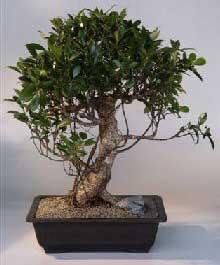 Ficus Bonsai Information Mellobonsai Care