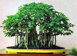 Hawaiian Umbrella Schefflera Arboricola Bonsai Care For