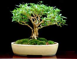 Serissa Foetida Bonsai Information Mellobonsai Bonsai Care