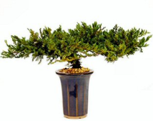 "Juniper Bonsai Tree - 8"" - Preserved Bonsai Tree"