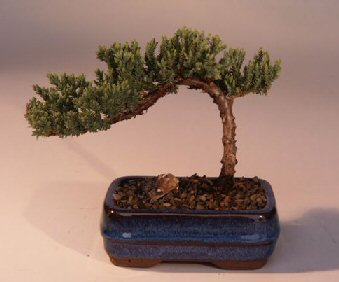 Juniper Bonsai Tree-Small