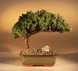 Juniper Bonsai Tree - Medium