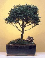 Blue Moss Cypress Bonsai Tree-Medium