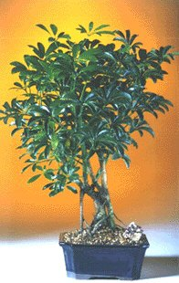 Hawaiian Umbrella Bonsai Tree-Medium
