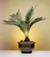 Sago Palm Bonsai Tree - Exotic