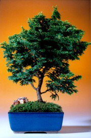 Hinoki Cypress Bonsai Tree -  Evergreen Conifer
