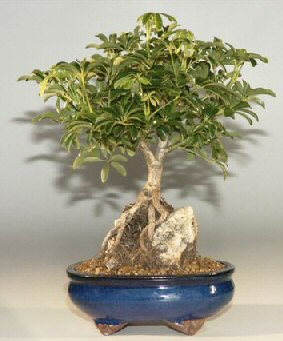 Hawaiian Umbrella Bonsai Tree Roots Growing Over Rock, Large