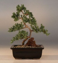 "Juniper ""Karate Kid""  Bonsai Tree - Medium"