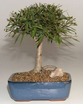 Willow Leaf Ficus Bonsai Tree-Medium