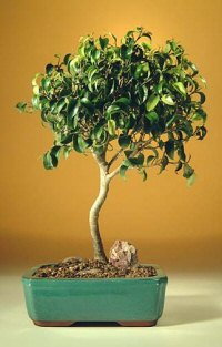 Ficus 'Too Little' - Large