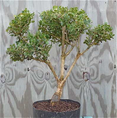 Boxwood prebonsai