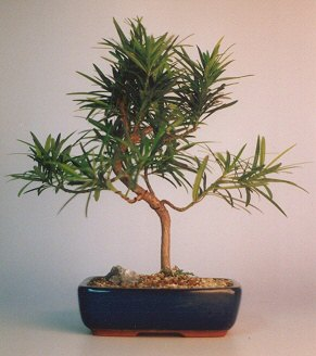 "Podocarpus Bonsai Tree - ""Styled"""