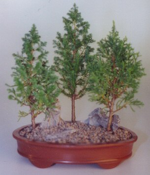 Eastern White Cedar Bonsai Tree - 3 Tree Group