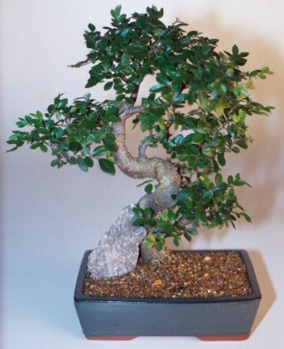 Chinese Elm Bonsai Tree-Extra Large