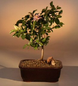 Lavender Star Flower Bonsai Tree - Medium