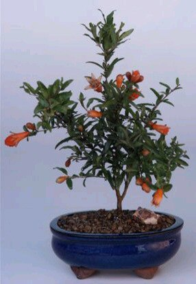 Dwarf Pomegranate - Small