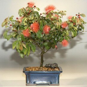 Flowering Powder Puff - Large
