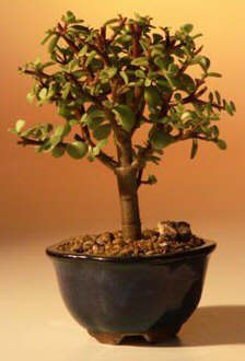 Baby Jade Bonsai Tree - Small