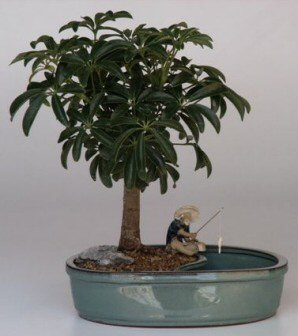 Hawaiian Umbrella Bonsai Tree/Water Bonsai Pot
