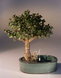 Baby Jade Bonsai Tree/Water Bonsai Pot