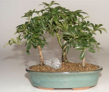 Hawaiian Umbrella Bonsai Tree - 3 Tree Forest Group
