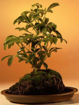 Hawaiian Umbrella Bonsai Tree - In Lava Rock - Small