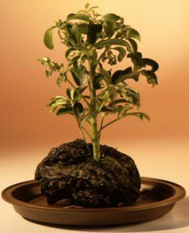 Hawaiian Umbrella Bonsai Tree - Gold - In Lava Rock - Small