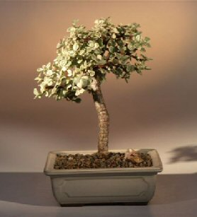 Baby Jade  Medium Bonsai Tree - Variegated
