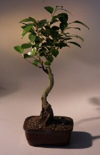Ficus Bonsai Tree - Curved Trunk