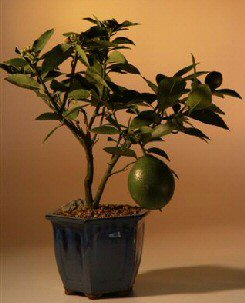 Lemon Bonsai Tree