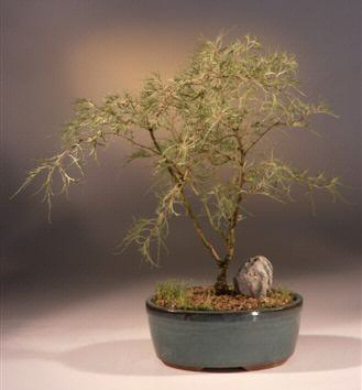 Laceleaf Weeping White Birch Bonsai Tree