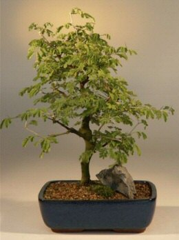 Brazilian Raintree Bonsai Tree Large