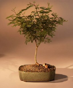 Sweet Acacia Bonsai Tree
