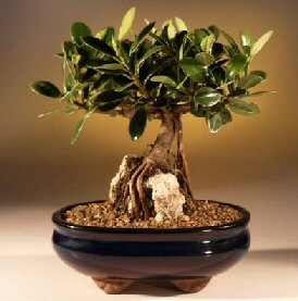 Green Emerald Ficus Bonsai Tree-Root over Rock