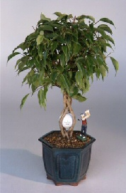 Golf Ball Ficus Bonsai Tree