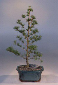 Japanese Larch Bonsai Tree
