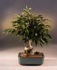 Oriental Ficus Bonsai Tree Coiled Trunk - Large