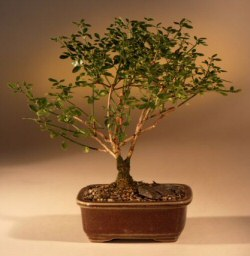 Winter Jasmine Bonsai Tree