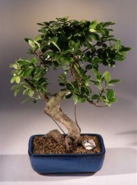 Taiwan Ficus Bonsai Tree - Curved Shaped Trunk - Large