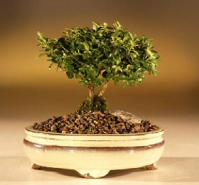 Japanese Kingsville Boxwood -  Medium