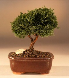 Tsukomo Cypress Bonsai Tree