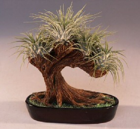 Bonsai Tree Air Plant