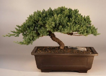 Juniper Windswept - Extra Large