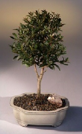 Flowering Brush Cherry Bonsai Tree - Medium