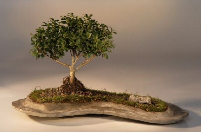 Japanese Kingsville Boxwood Planted on a Rock Slab<br >