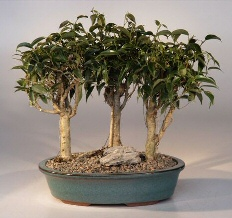 Oriental Ficus Bonsai - 3 Tree Group