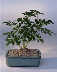 Hawaiian Umbrella Bonsai Tree - Root Over Rock In Bonsai Pot