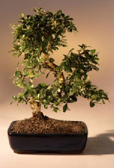 Fukien Tea Flowering Bonsai Tree