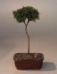 Blue Moss Cypress Bonsai Tree - Standard Upright