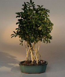 Hawaiian Umbrella Bonsai Tree - Banyan Style - Large